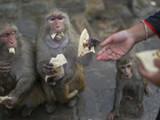 ३०० माकडांची अन्नदाता