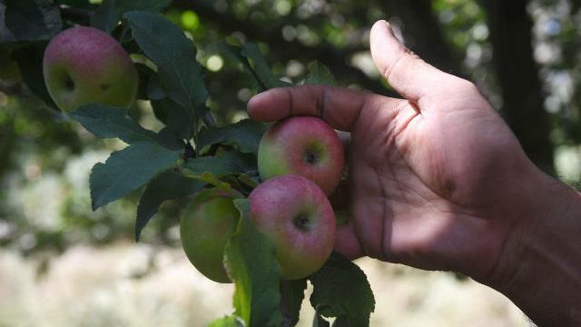 काश्मीरमध्ये अक्रोड- सफरचंद निर्यातीला पाठवण्याची लगबग