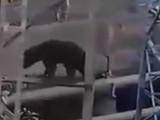 चंद्रपूर अस्वल