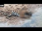 चंद्रपूरमध्ये वाघिणीचा मृत्यू