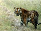 महाराष्ट्रात वाघांच्या हल्ल्यात सर्वाधिक मृत्यू